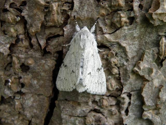 vlinderl